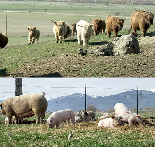 Scottish Highland Cows and heritage breed pigs at the Starwalker farms.